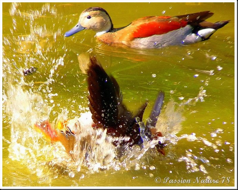 Le canard mandarin (9)