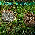 Tuber indicum