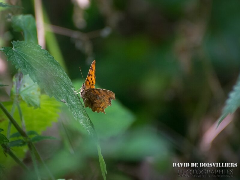 Robert-Le-Diable (Polygonia C-album - Nymphalidae)