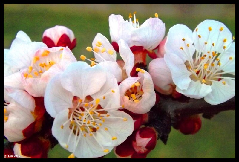 clin d'oeil de fleurs de pechers