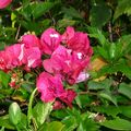 Bougainvillier