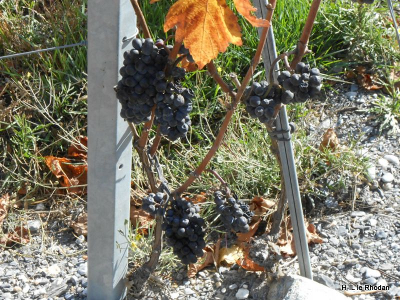 13-Vignes en or 013