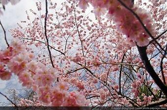 340x225xthumb_Cerisier_a_fleurs__03