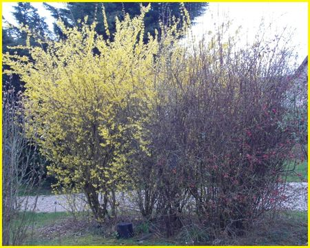 forsythia cognassier avril