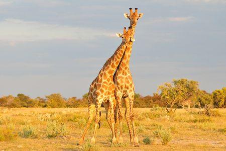 Girafes de l'Angola, parc d'Etosha, Namibie (2)