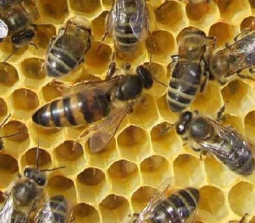 reine_d_abeilles[1]