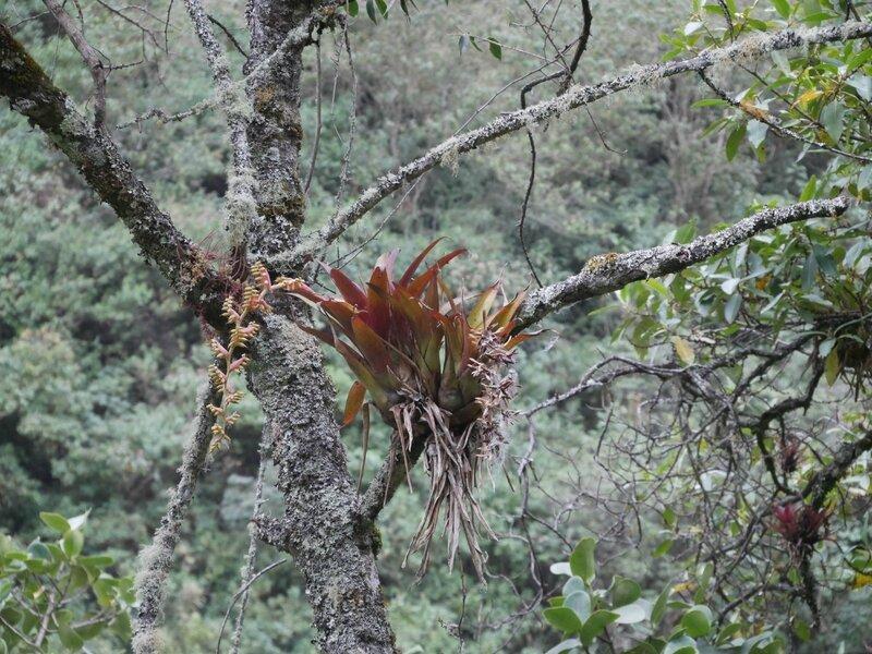 broméliacé, épiphite du Pérou