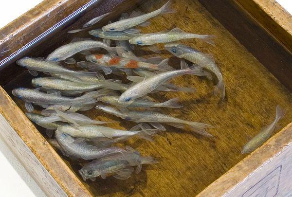 peinture poisson rouge