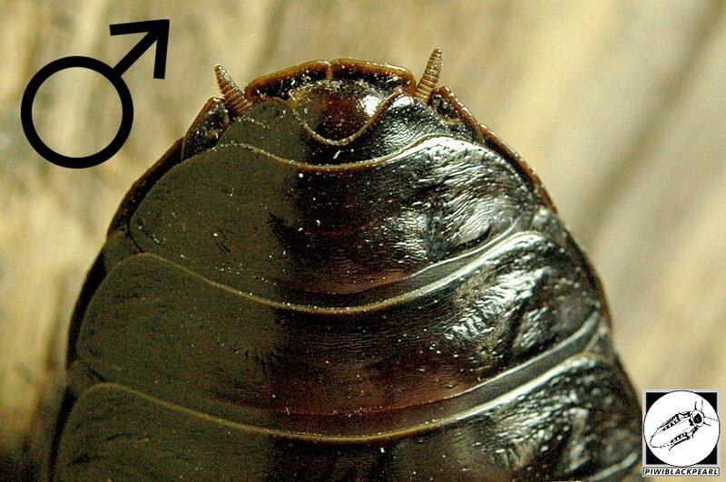 Gromphadorhina grandidieri abdomen mâle