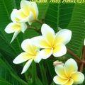 Ghoriba aux cacahuètes en forme de fleurs