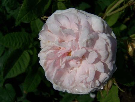 larmes_dur_la_fleurs1