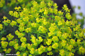 Euphorbia_cyparissias_3