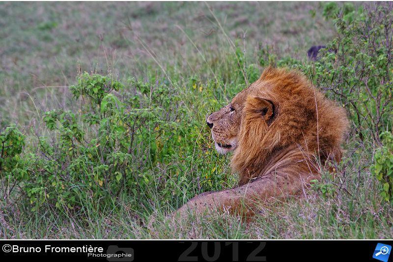Lion 800b
