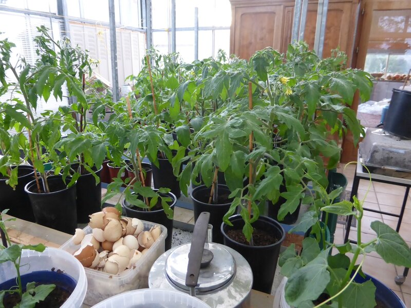 19-tomates-plants (7)
