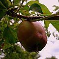 Pomme de reinette et pomme d'api ...