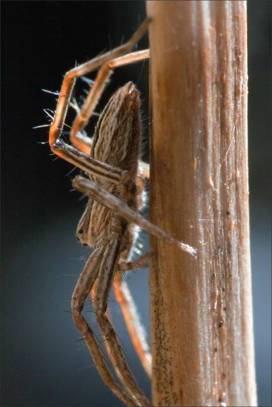 ville araign pisaura tige sèche 040916 TGP2