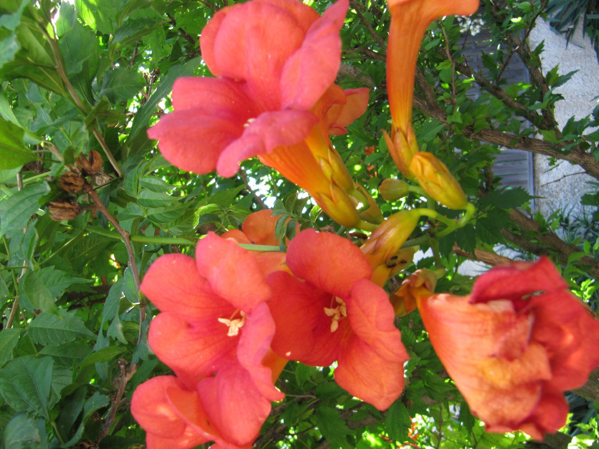 Trompette de jericho photo de fleurs citrons et sucreries - Fleur en forme de trompette ...