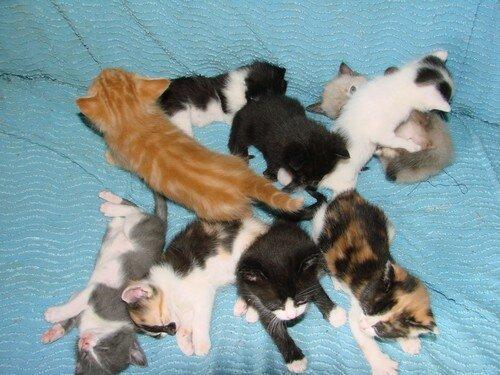 2008 04 12 Les 9 petits chatons, ceux de Blanco à 3 semaines rt ceux de Papillon à 1 mois