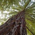Séquoïa sempervirens le plus haut du Loiret: 46 m