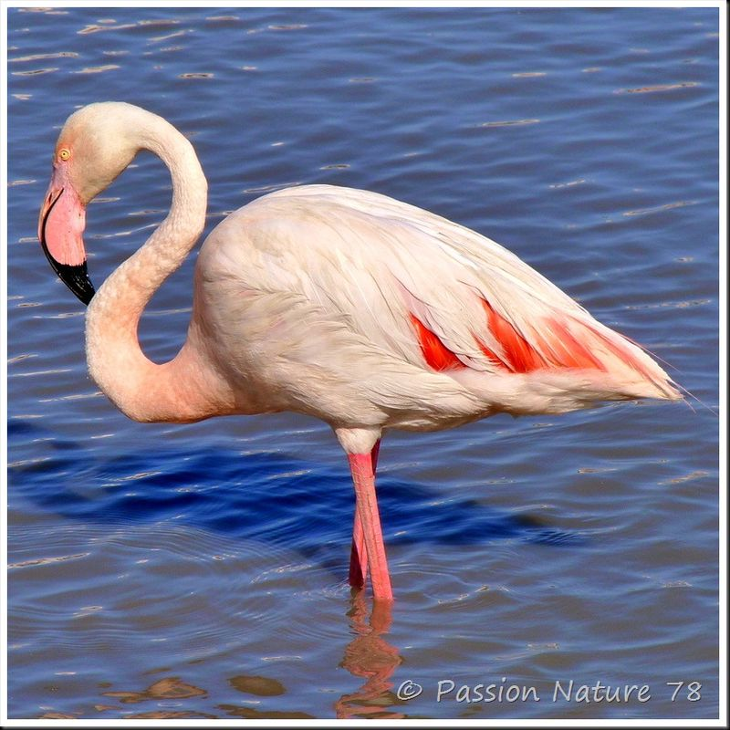 Photos vues Flamant Rose Phoenicopterus Ruber HD Wallpapers