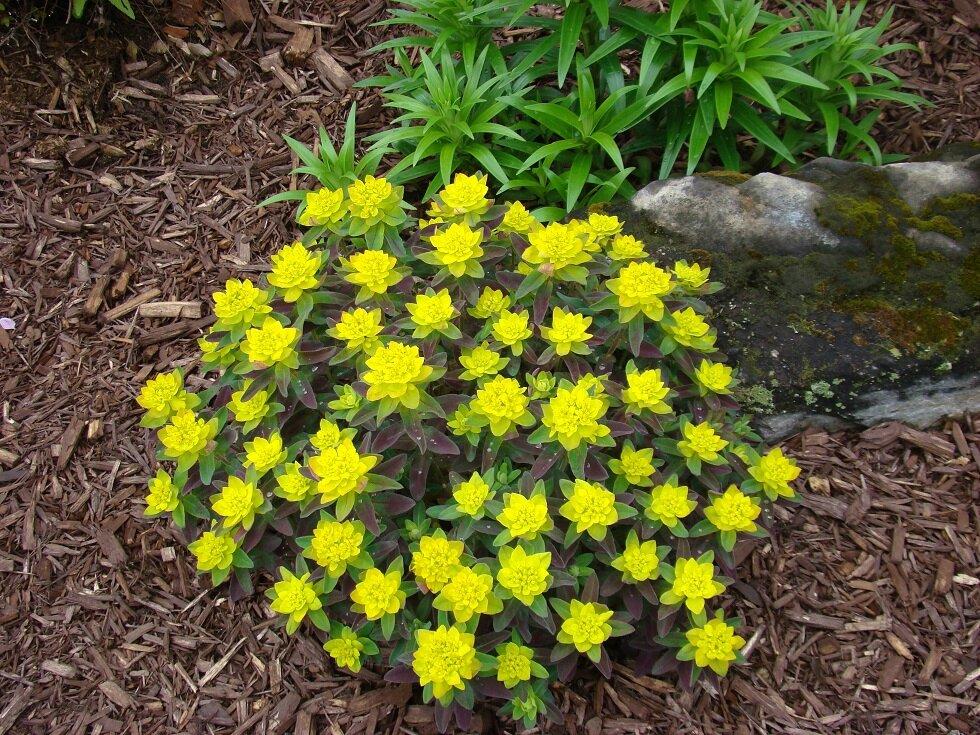 Euphorbia polychroma bonfire fin mai