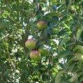 Pomme de rainette et pomme d'api.....