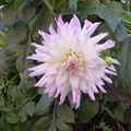 2009 10 13 Une fleur de dalhias