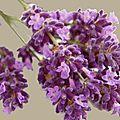 Sal lavender fin
