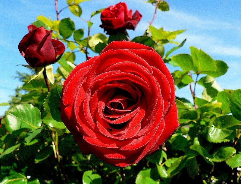 rose Salammbô (grimpant)