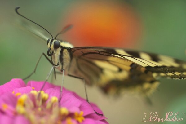 machaon_10