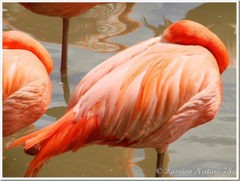 Les flamants roses (25)