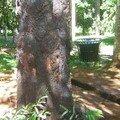L'arbre qui saigne. PAMPLEMOUSSES