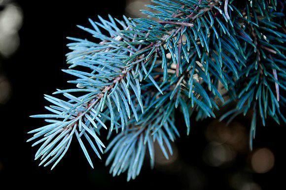branche de sapin bleu 3