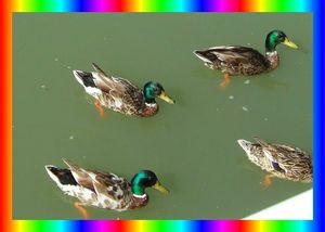 petits canards2