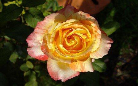 rose_jardin
