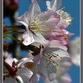 fleurs de prunus
