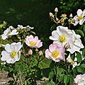 Rosier botanique Rosa macranth