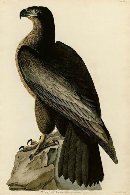 Audubon - Bird of Washington - misidentified juvenile Haliaeetus leucocephalus