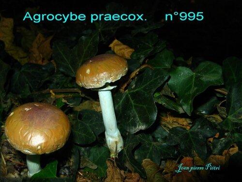 Agrocybe praecox n°995