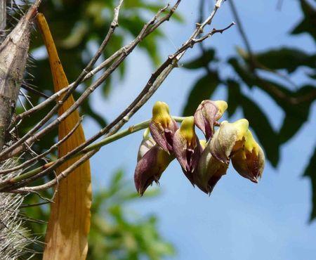 Catasetum macrocarpum (mâle)