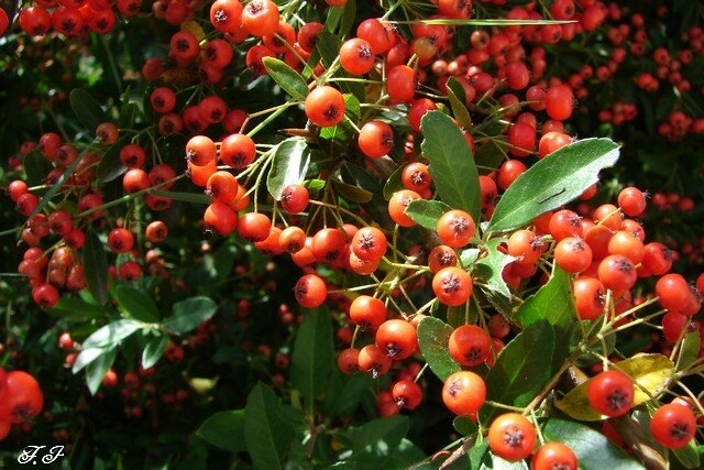 pyracantha coccinea buisson ardent nature faune flore regions. Black Bedroom Furniture Sets. Home Design Ideas