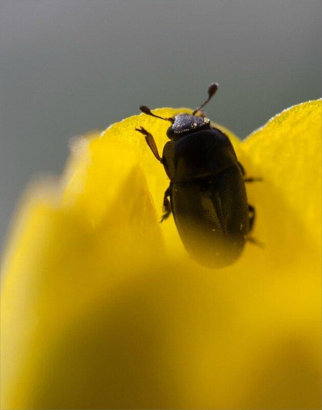 Galuchet SM fleur populage insectes 100318 ym 16