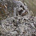 Lesbos oiseaux 34 - Bruant zizi