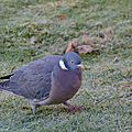 Pigeon ramier - Columbia palumbus