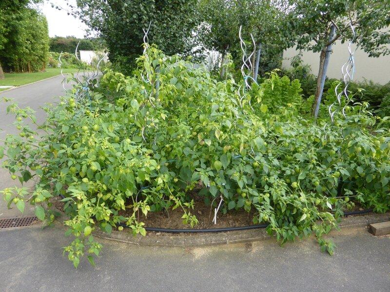 11-tomatillos (2)