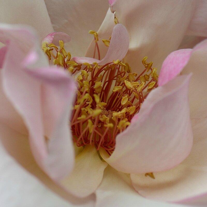 Rose Sophie coeur