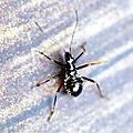 Himacereus mirmicoides (La Réduve-fourmi)