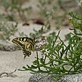 Papilion machaon - Machaon (Grand porte-queue)