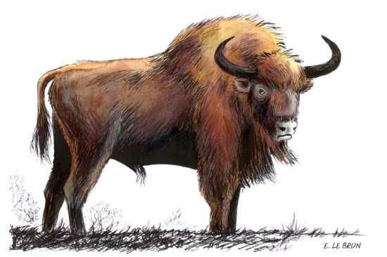 Bison_des_steppes