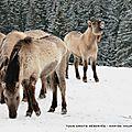 Le cheval konik polski (parc polaire de chaux-neuve)